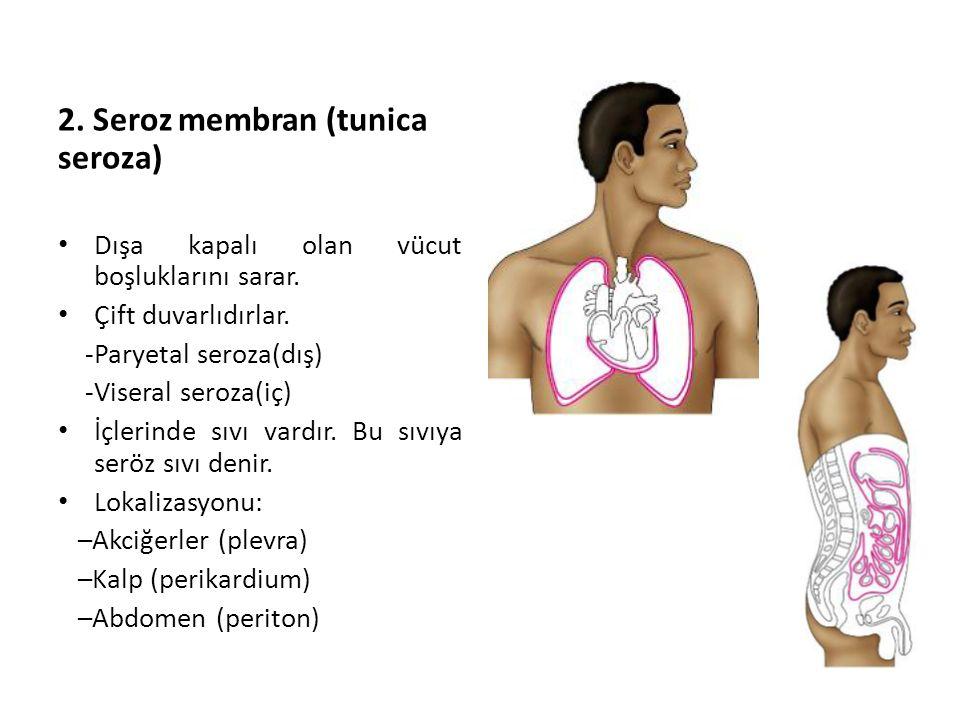 2. Seroz membran (tunica seroza) Dışa kapalı olan vücut boşluklarını sarar. Çift duvarlıdırlar. -Paryetal seroza(dış) -Viseral seroza(iç) İçlerinde sı