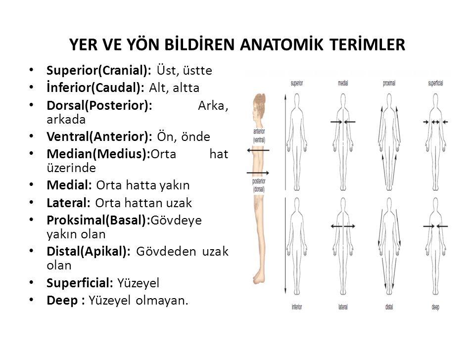 YER VE YÖN BİLDİREN ANATOMİK TERİMLER Superior(Cranial): Üst, üstte İnferior(Caudal): Alt, altta Dorsal(Posterior): Arka, arkada Ventral(Anterior): Ön