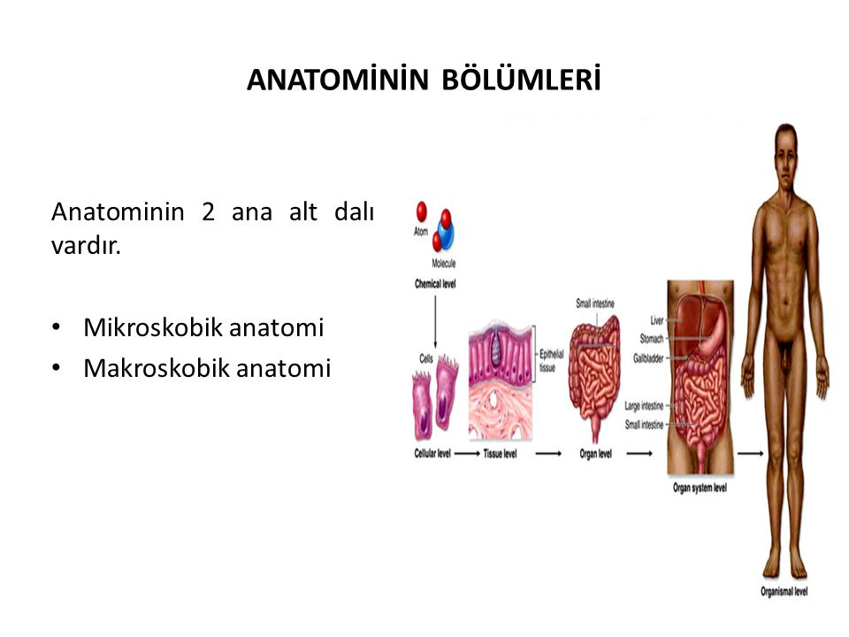 ANATOMİNİN BÖLÜMLERİ Anatominin 2 ana alt dalı vardır. Mikroskobik anatomi Makroskobik anatomi