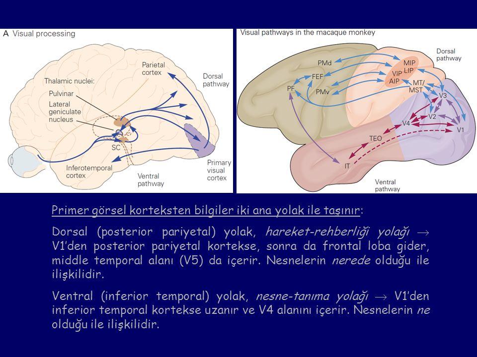 Primer görsel korteksten bilgiler iki ana yolak ile taşınır: Dorsal (posterior pariyetal) yolak, hareket-rehberliği yolağı  V1'den posterior pariyeta