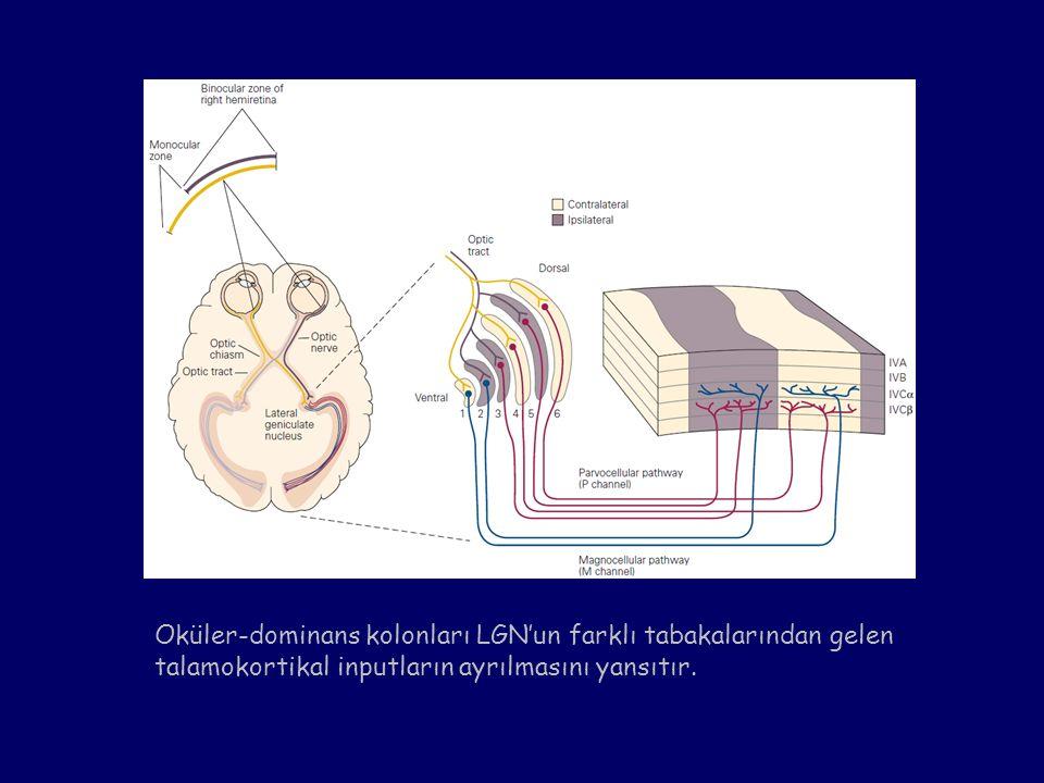 Oküler-dominans kolonları LGN'un farklı tabakalarından gelen talamokortikal inputların ayrılmasını yansıtır.