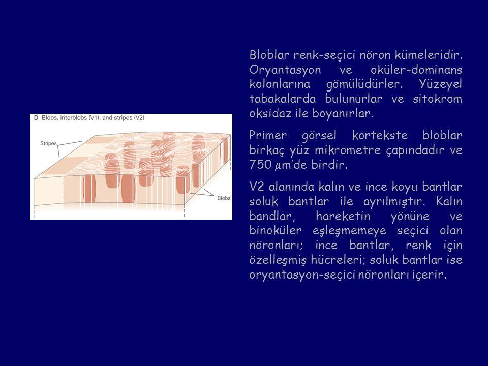 Bloblar renk-seçici nöron kümeleridir. Oryantasyon ve oküler-dominans kolonlarına gömülüdürler. Yüzeyel tabakalarda bulunurlar ve sitokrom oksidaz ile