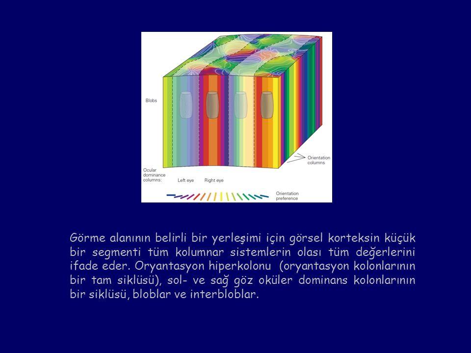 Görme alanının belirli bir yerleşimi için görsel korteksin küçük bir segmenti tüm kolumnar sistemlerin olası tüm değerlerini ifade eder. Oryantasyon h