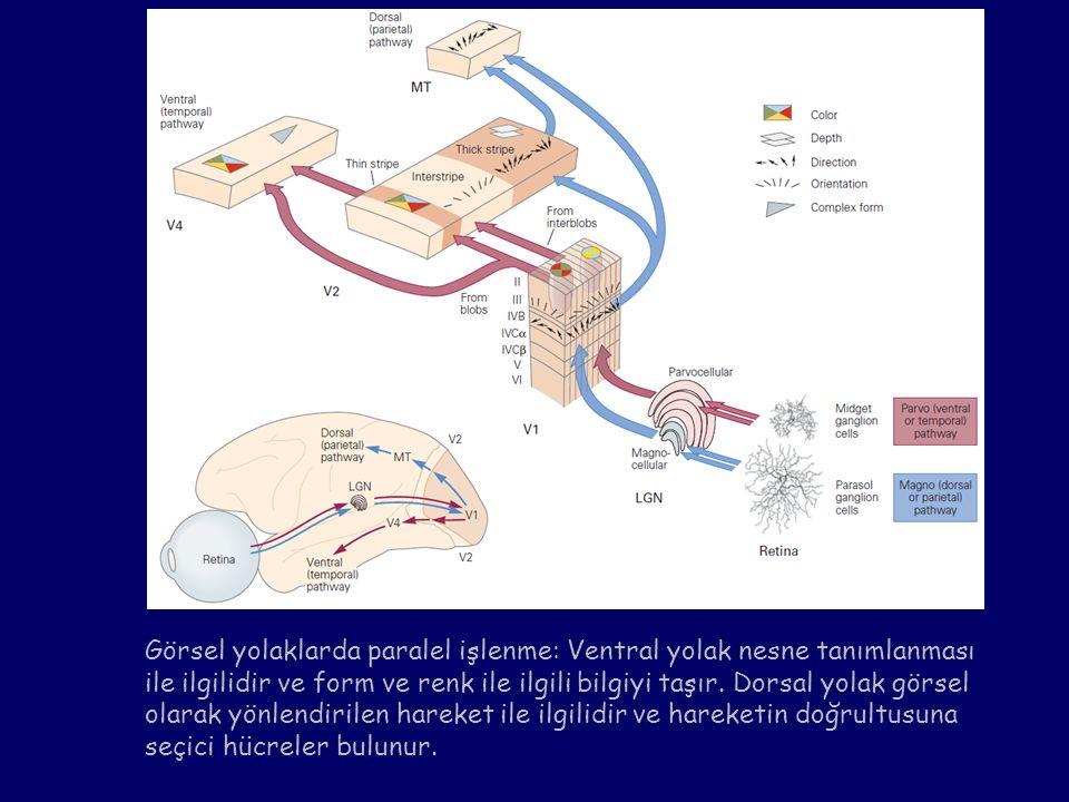 Görsel yolaklarda paralel işlenme: Ventral yolak nesne tanımlanması ile ilgilidir ve form ve renk ile ilgili bilgiyi taşır. Dorsal yolak görsel olarak