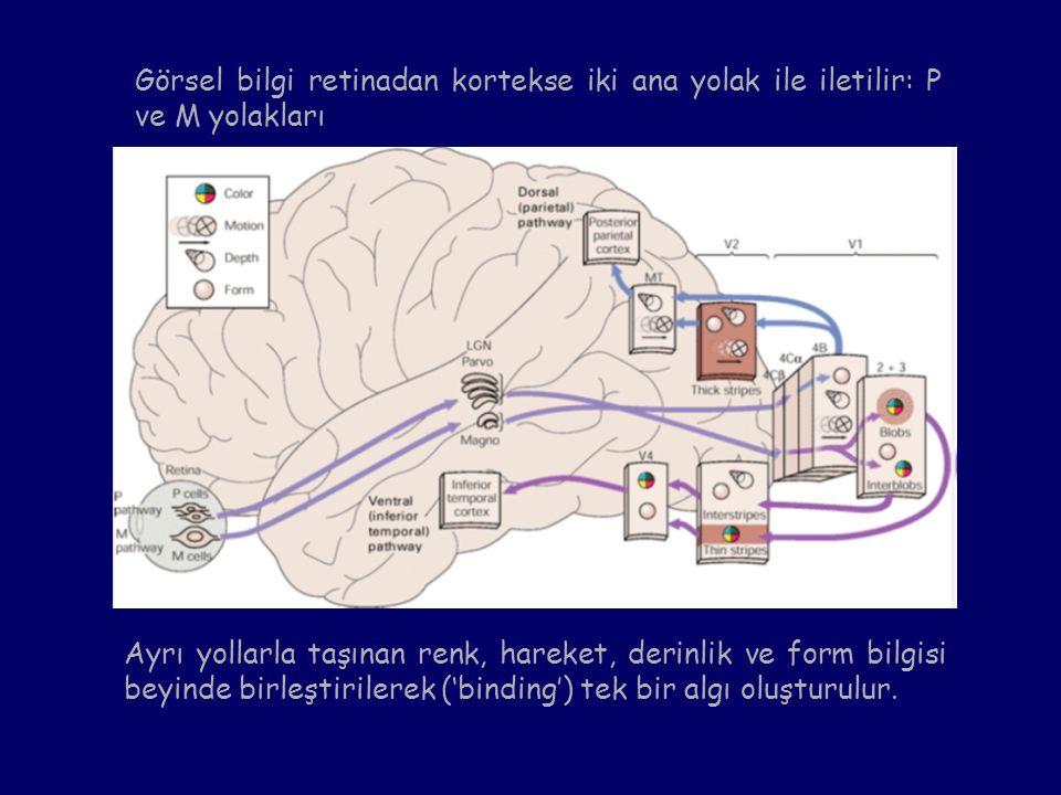 Görsel bilgi retinadan kortekse iki ana yolak ile iletilir: P ve M yolakları Ayrı yollarla taşınan renk, hareket, derinlik ve form bilgisi beyinde bir