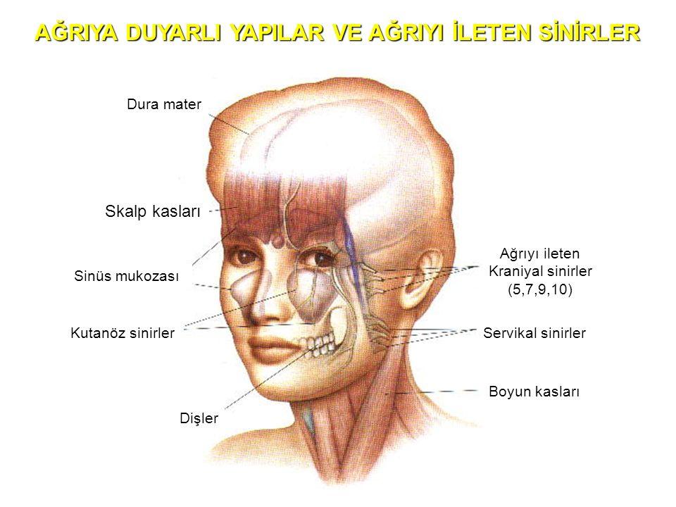 Dura mater Skalp kasları Sinüs mukozası Kutanöz sinirler Dişler Ağrıyı ileten Kraniyal sinirler (5,7,9,10) Servikal sinirler Boyun kasları AĞRIYA DUYA