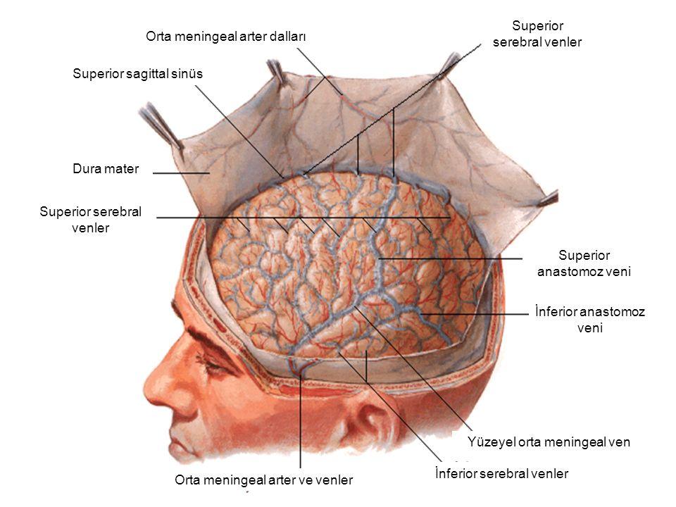 Orta meningeal arter dalları Superior sagittal sinüs Dura mater Superior serebral venler Superior anastomoz veni İnferior anastomoz veni İnferior sere