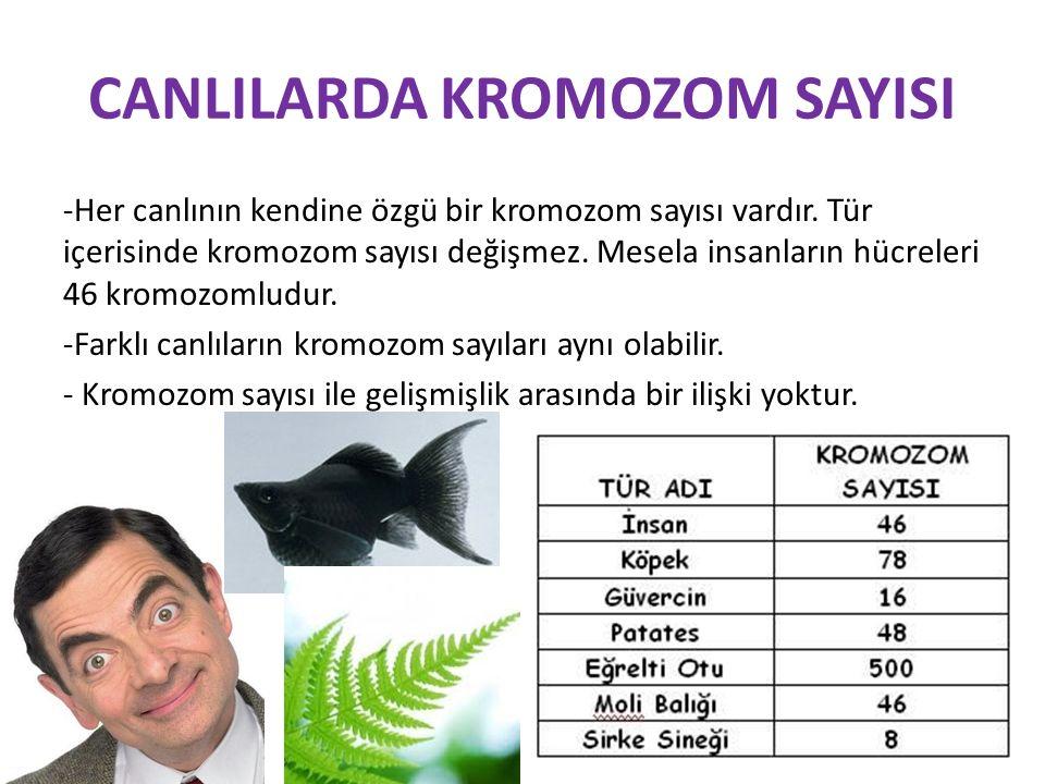 CANLILARDA KROMOZOM SAYISI -Her canlının kendine özgü bir kromozom sayısı vardır. Tür içerisinde kromozom sayısı değişmez. Mesela insanların hücreleri