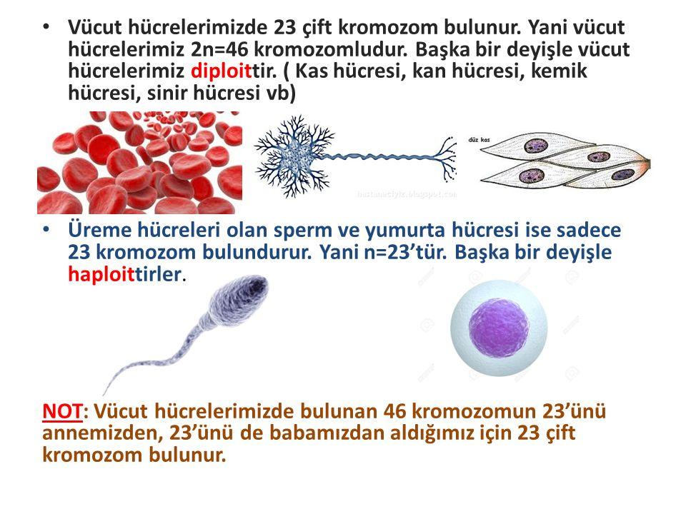 Vücut hücrelerimizde 23 çift kromozom bulunur. Yani vücut hücrelerimiz 2n=46 kromozomludur. Başka bir deyişle vücut hücrelerimiz diploittir. ( Kas hüc