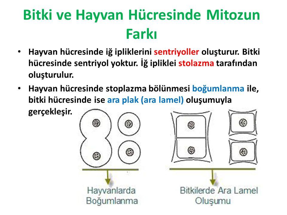 Bitki ve Hayvan Hücresinde Mitozun Farkı Hayvan hücresinde iğ ipliklerini sentriyoller oluşturur. Bitki hücresinde sentriyol yoktur. İğ ipliklei stola