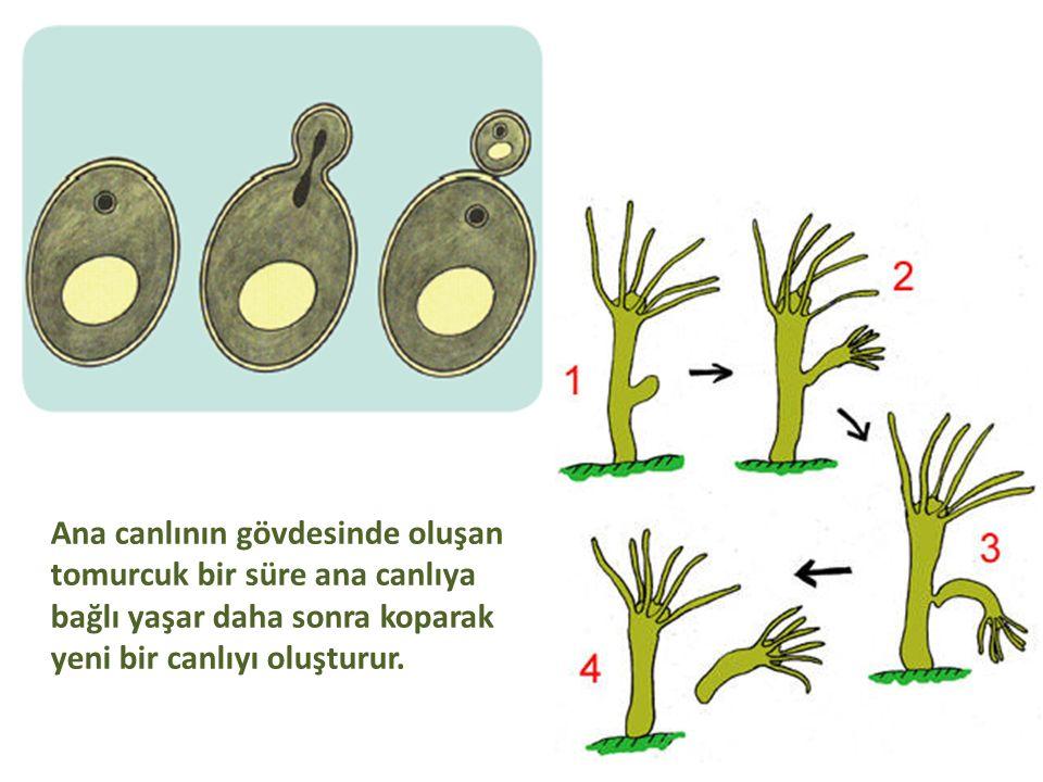 Ana canlının gövdesinde oluşan tomurcuk bir süre ana canlıya bağlı yaşar daha sonra koparak yeni bir canlıyı oluşturur.