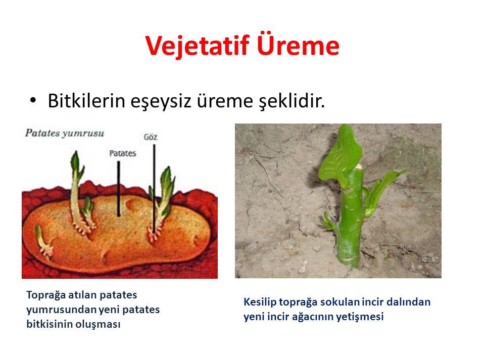 Vejetatif Üreme Bitkilerin eşeysiz üreme şeklidir. Toprağa atılan patates yumrusundan yeni patates bitkisinin oluşması Kesilip toprağa sokulan incir d