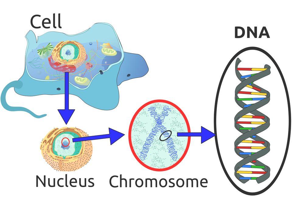 Vücut hücrelerimizde 23 çift kromozom bulunur.Yani vücut hücrelerimiz 2n=46 kromozomludur.