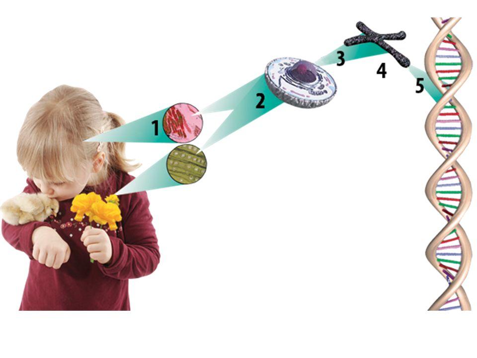 Bitki ve Hayvan Hücresinde Mitozun Farkı Hayvan hücresinde iğ ipliklerini sentriyoller oluşturur.