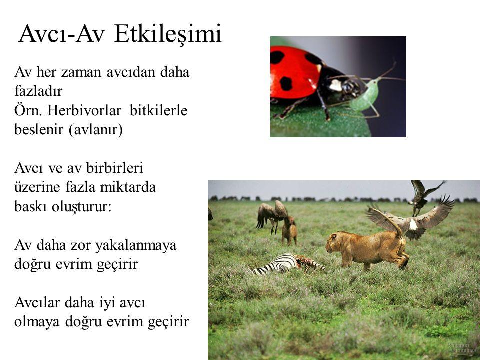 Av her zaman avcıdan daha fazladır Örn. Herbivorlar bitkilerle beslenir (avlanır) Avcı ve av birbirleri üzerine fazla miktarda baskı oluşturur: Av dah