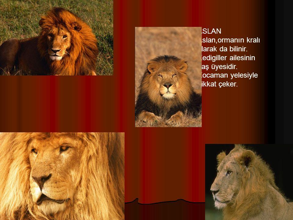 ASLAN Aslan,ormanın kralı olarak da bilinir.Kedigiller ailesinin baş üyesidir.