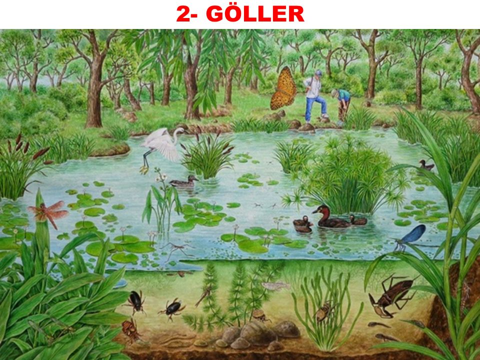 Veli&Sümeyra YILMAZ 2- GÖLLER  Karalar üzerindeki durgun su ekosistemlerini oluşturur. Göllerin çevresinde yer alan sucul bitkiler gerek su kuşları g