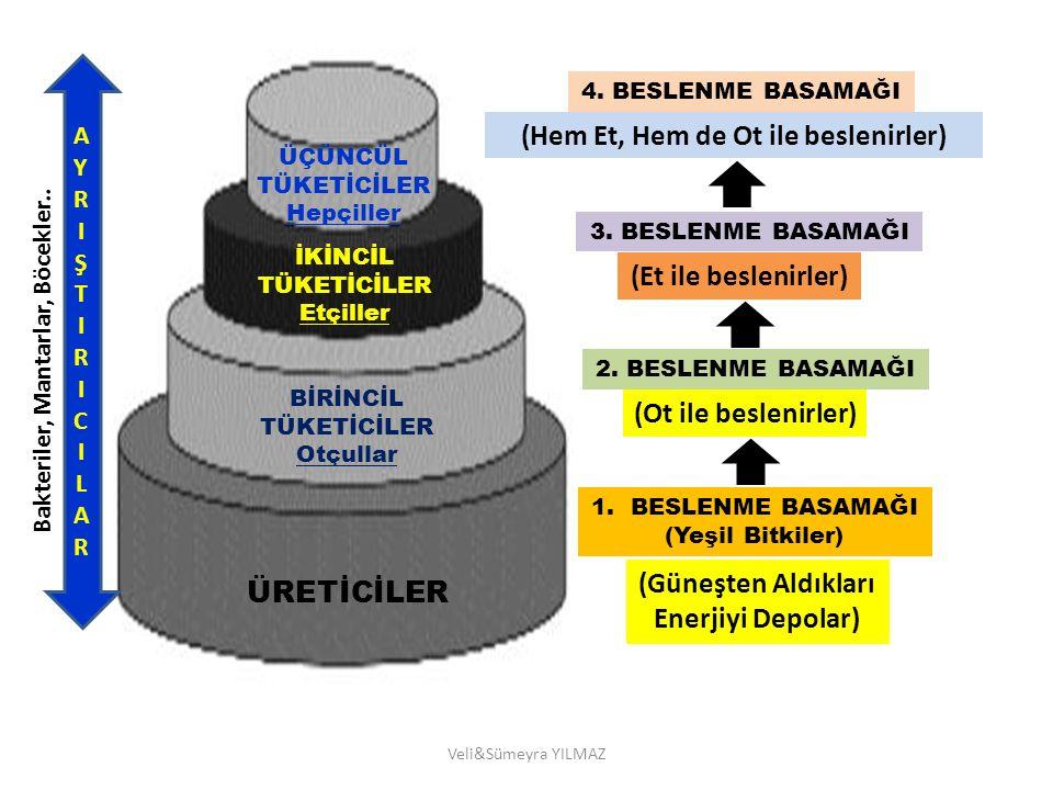 Veli&Sümeyra YILMAZ 1.BESLENME BASAMAĞI (Yeşil Bitkiler) (Güneşten Aldıkları Enerjiyi Depolar) ÜRETİCİLER 2. BESLENME BASAMAĞI BİRİNCİL TÜKETİCİLER Ot