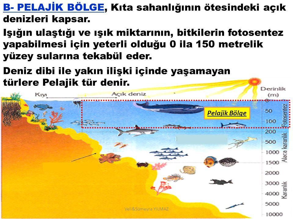 C- ABİSAL BÖLGE Güneş ışığının ulaşamadığı derin deniz ve okyanus tabanlarını kapsar.
