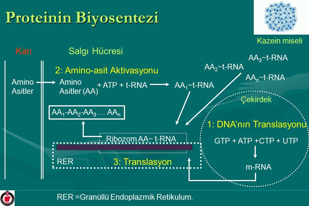 Proteinin Biyosentezi Salgı Hücresi Amino Asitler Amino Asitler (AA) Kan 1: DNA'nın Translasyonu GTP + ATP +CTP + UTP m-RNA Çekirdek 2: Amino-asit Akt