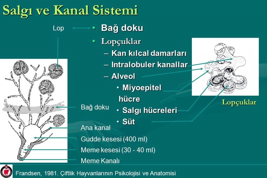 Salgı ve Kanal Sistemi Bağ doku Lopçuklar –Kan kılcal damarları –Intralobuler kanallar –Alveol Miyoepitel hücre Salgı hücreleri Süt Meme kesesi (30 -