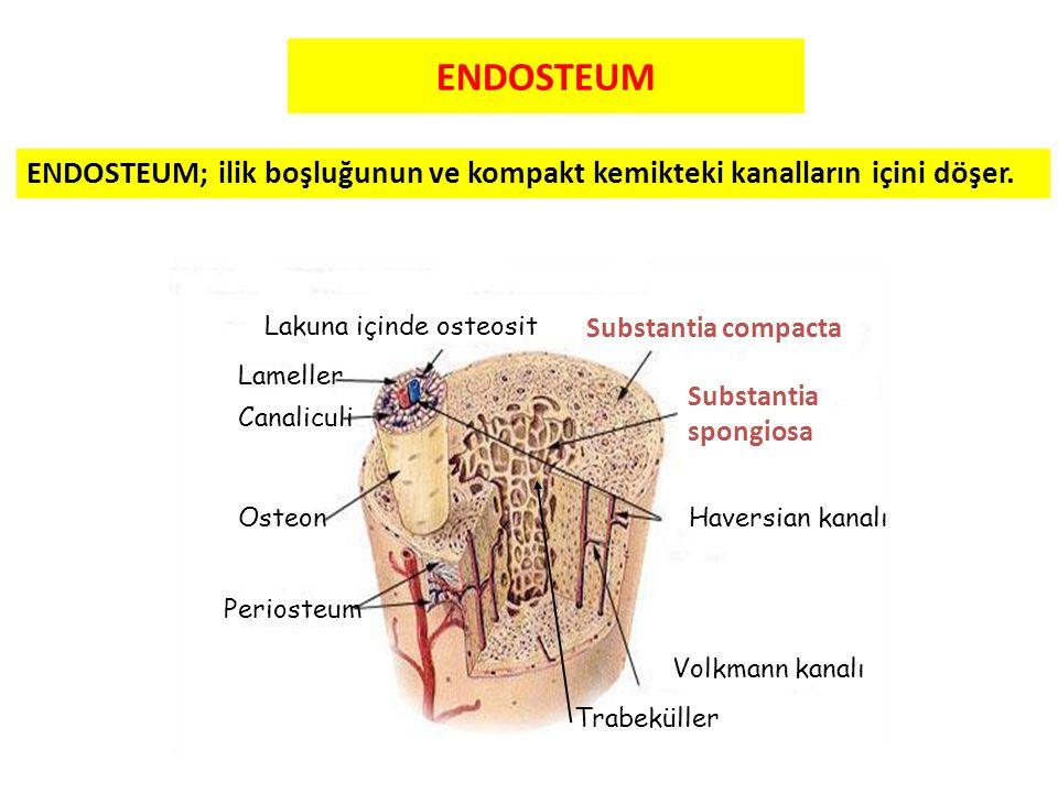 ENDOSTEUM Lameller Canaliculi Osteon Lakuna içinde osteosit Substantia compacta Substantia spongiosa Haversian kanalı Volkmann kanalı Periosteum ENDOS
