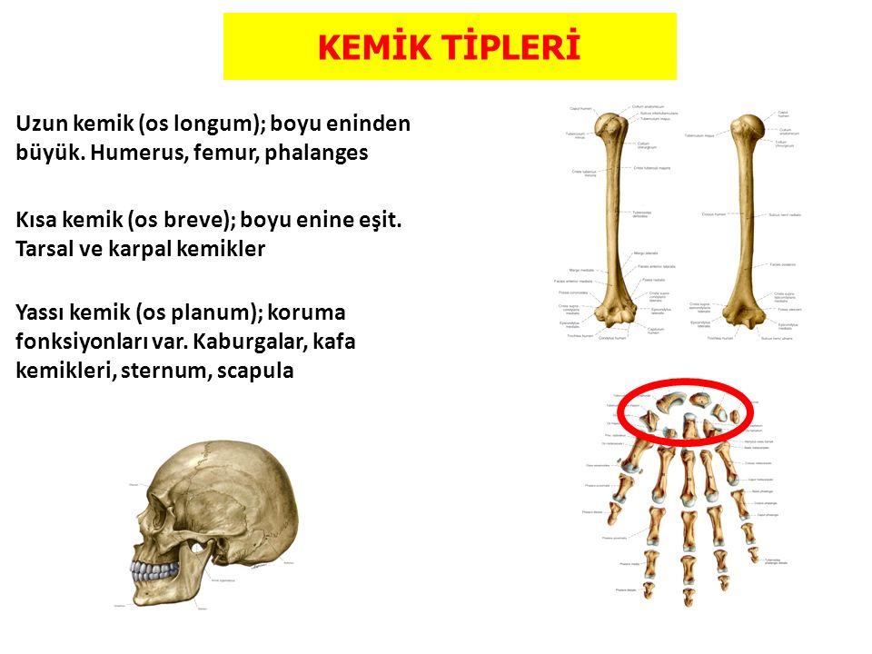 KEMİK TİPLERİ Uzun kemik (os longum); boyu eninden büyük. Humerus, femur, phalanges Kısa kemik (os breve); boyu enine eşit. Tarsal ve karpal kemikler