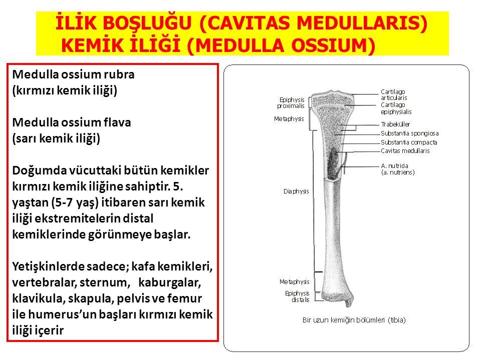 İLİK BOŞLUĞU (CAVITAS MEDULLARIS) KEMİK İLİĞİ (MEDULLA OSSIUM) Medulla ossium rubra (kırmızı kemik iliği) Medulla ossium flava (sarı kemik iliği) Doğu