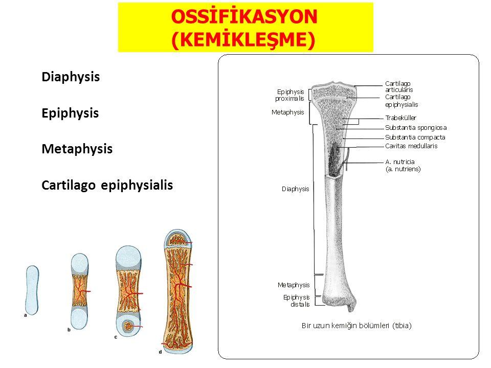 OSSİFİKASYON (KEMİKLEŞME) Diaphysis Epiphysis Metaphysis Cartilago epiphysialis