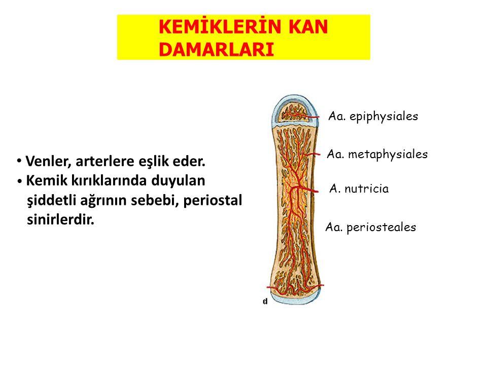 KEMİKLERİN KAN DAMARLARI Aa. epiphysiales Aa. metaphysiales A. nutricia Aa. periosteales Venler, arterlere eşlik eder. Kemik kırıklarında duyulan şidd