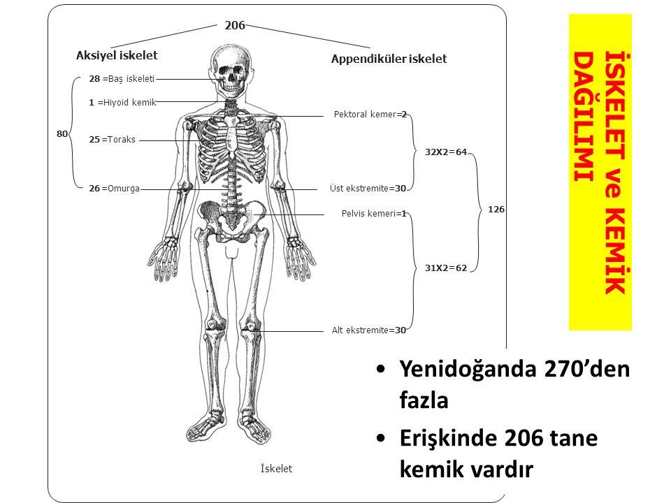 İSKELET ve KEMİK DAĞILIMI Appendiküler iskelet Pektoral kemer=2 Üst ekstremite=30 Pelvis kemeri=1 Alt ekstremite=30 32X2=64 31X2=62 126 Aksiyel iskele