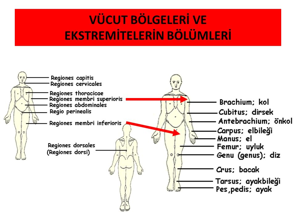 Vücuttaki bir yapının diğer bir yapı ile ilişkisini tarif ederken Anatomi terminolojisinin (Terminologia Anatomica) kullanılması gerekir Anatomi Terminolojisi, anatomide kullanılan uluslararası terimleri içeren bir listedir TERMINOLOGIA ANATOMICA