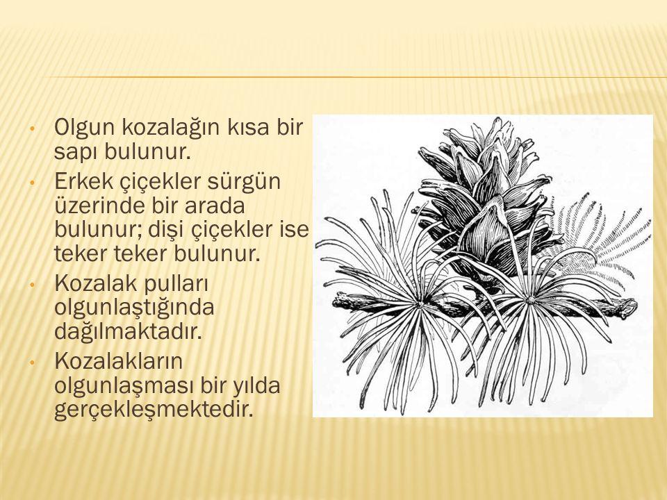 Olgun kozalağın kısa bir sapı bulunur. Erkek çiçekler sürgün üzerinde bir arada bulunur; dişi çiçekler ise teker teker bulunur. Kozalak pulları olgunl