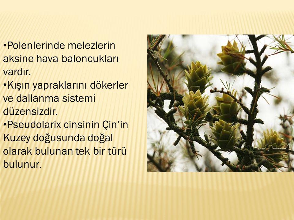 Polenlerinde melezlerin aksine hava baloncukları vardır. Kışın yapraklarını dökerler ve dallanma sistemi düzensizdir. Pseudolarix cinsinin Çin'in Kuze