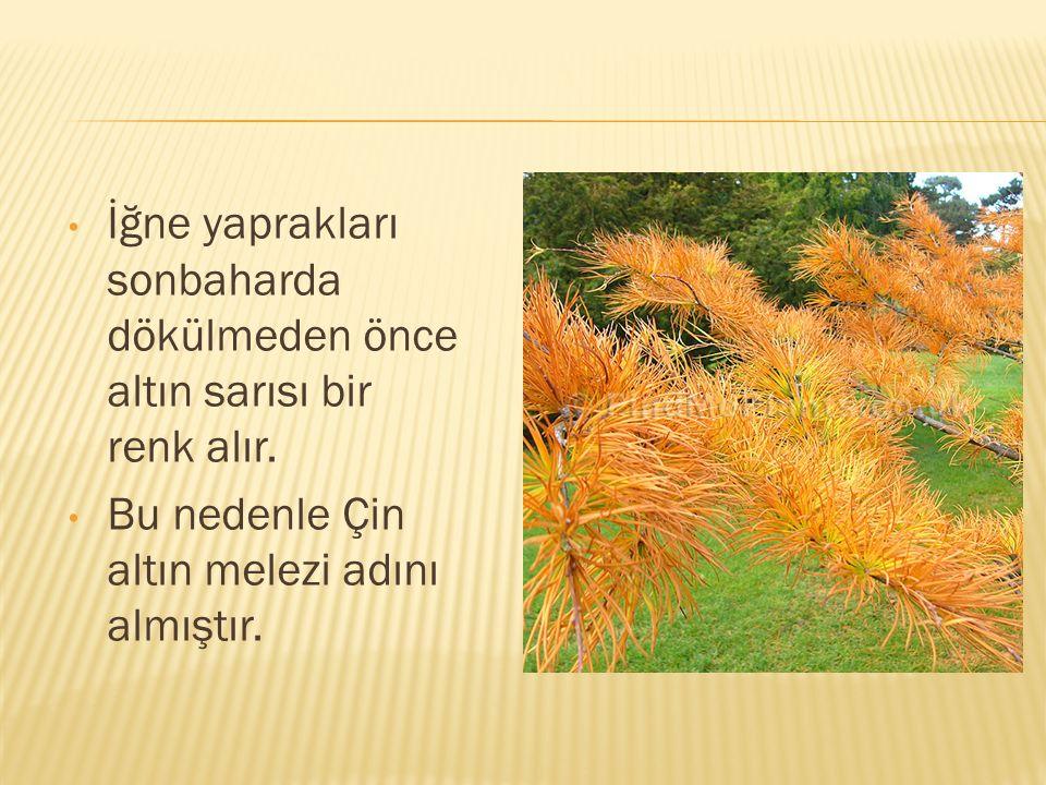 İğne yaprakları sonbaharda dökülmeden önce altın sarısı bir renk alır. Bu nedenle Çin altın melezi adını almıştır.