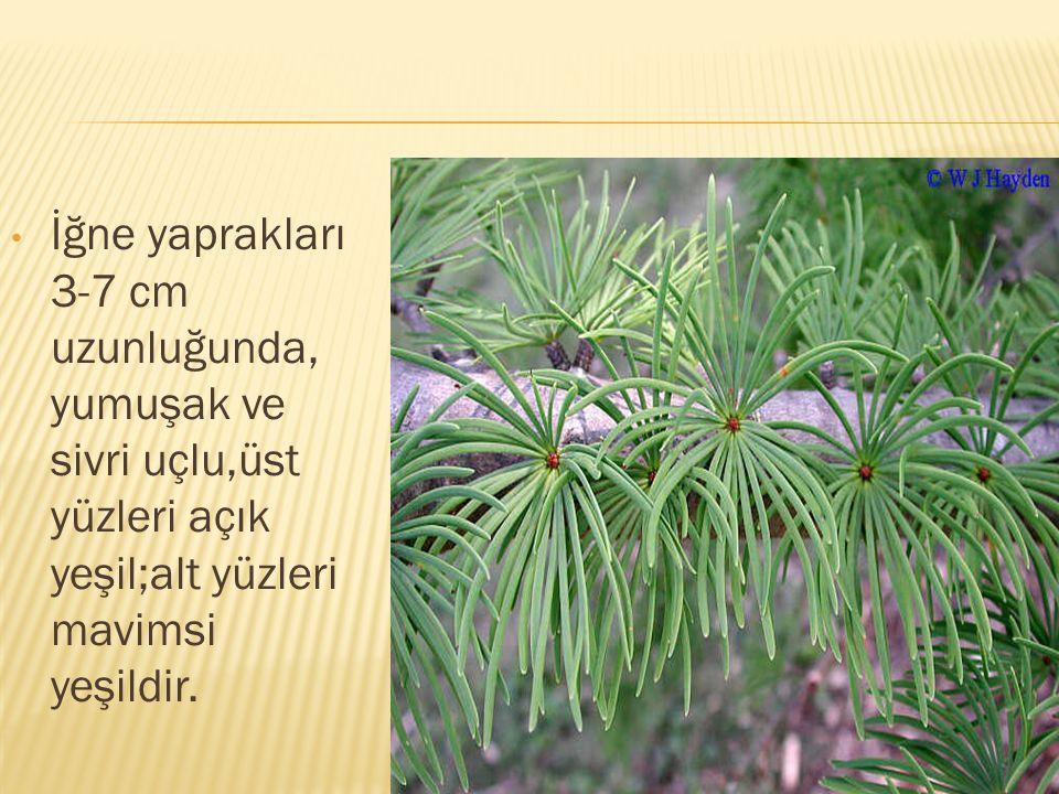 İğne yaprakları 3-7 cm uzunluğunda, yumuşak ve sivri uçlu,üst yüzleri açık yeşil;alt yüzleri mavimsi yeşildir.