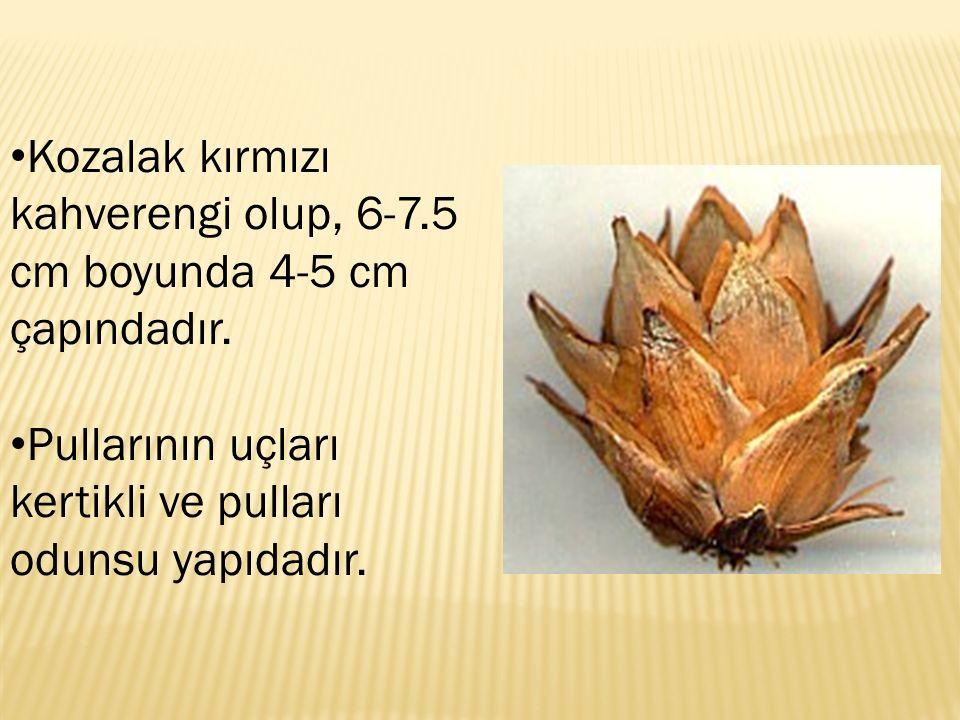 Kozalak kırmızı kahverengi olup, 6-7.5 cm boyunda 4-5 cm çapındadır. Pullarının uçları kertikli ve pulları odunsu yapıdadır.
