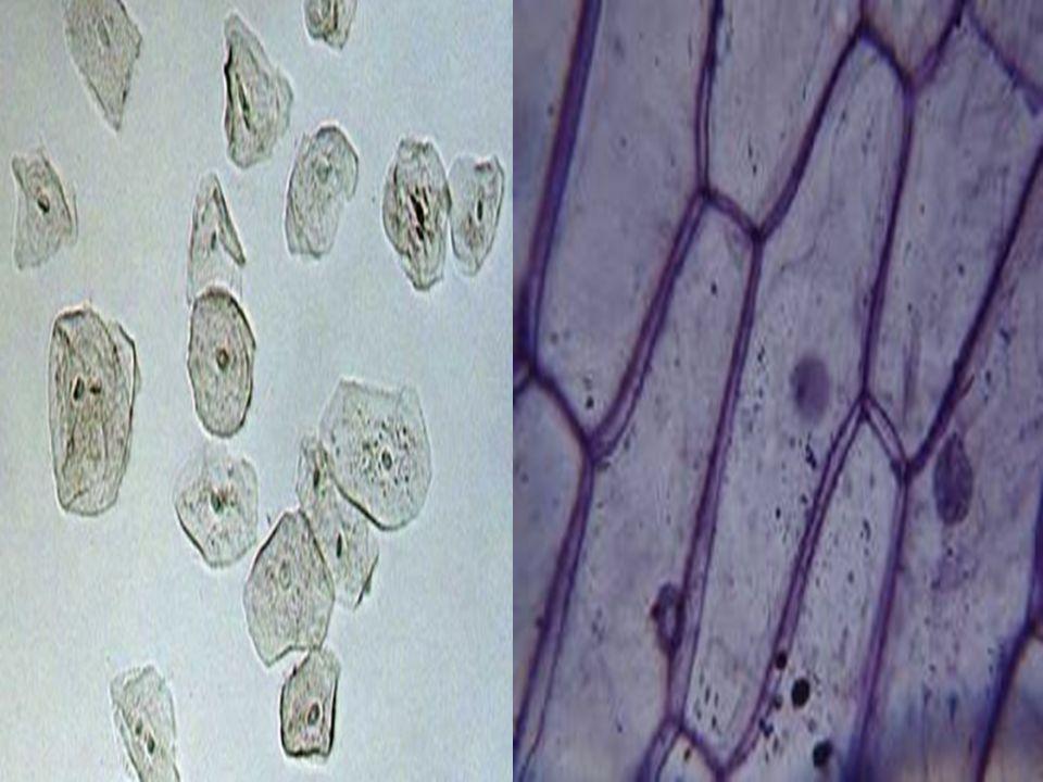  Kullandıkları camların düşük nitelikli, merceklerin biçiminin de kusurlu oluşu nedeniyle ilk mikroskopları yapanlar, ancak bulanık görüntüler elde e