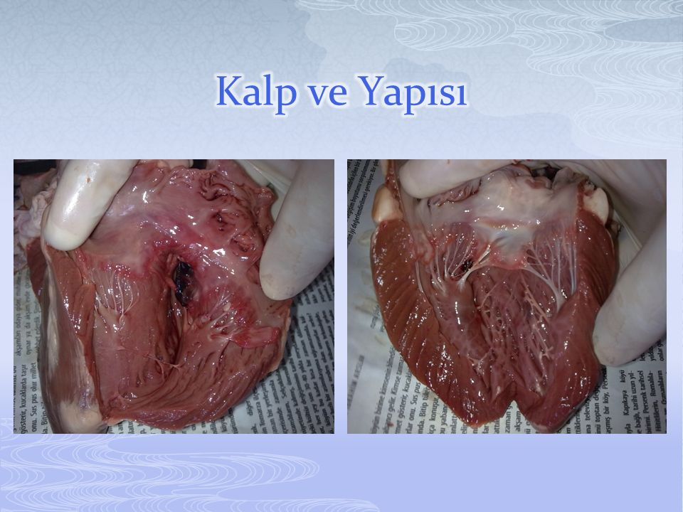  Kalp, kasılıp gevşeyerek kanın damarlar içinde bütün vücudu dolaşmasını sağlar.