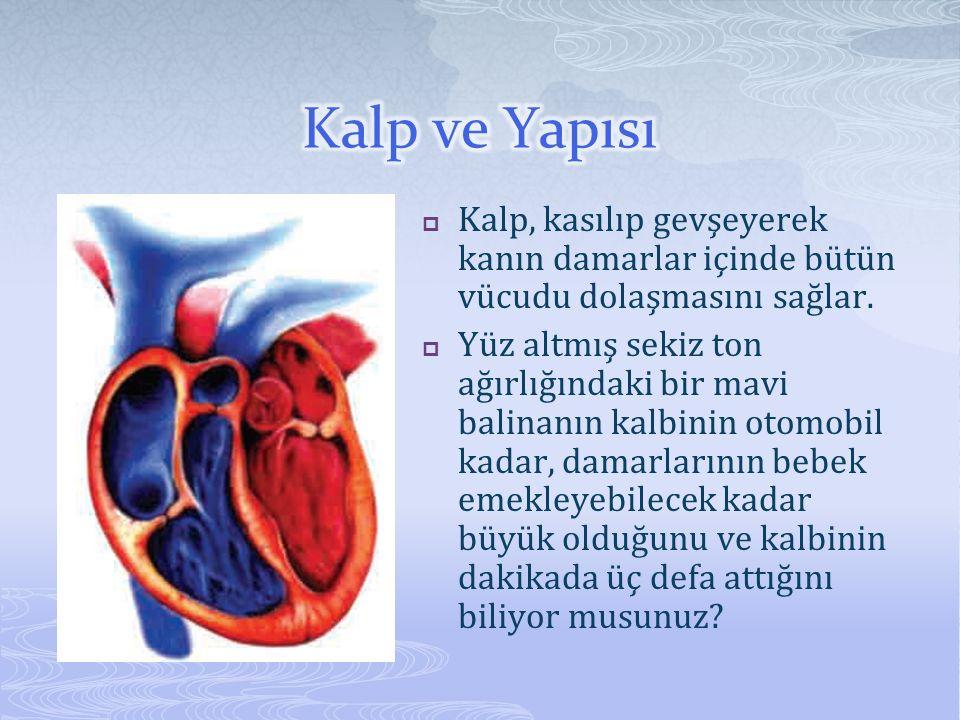  Kalp, kasılıp gevşeyerek kanın damarlar içinde bütün vücudu dolaşmasını sağlar.  Yüz altmış sekiz ton ağırlığındaki bir mavi balinanın kalbinin oto
