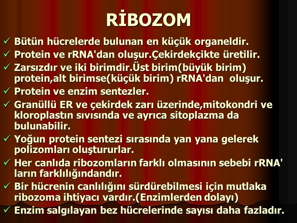 RİBOZOM Bütün hücrelerde bulunan en küçük organeldir. Bütün hücrelerde bulunan en küçük organeldir. Protein ve rRNA'dan oluşur.Çekirdekçikte üretilir.