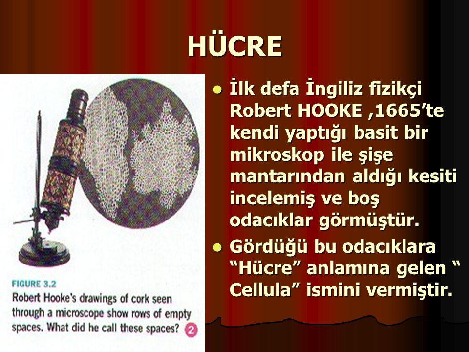HÜCRE İlk defa İngiliz fizikçi Robert HOOKE,1665'te kendi yaptığı basit bir mikroskop ile şişe mantarından aldığı kesiti incelemiş ve boş odacıklar gö