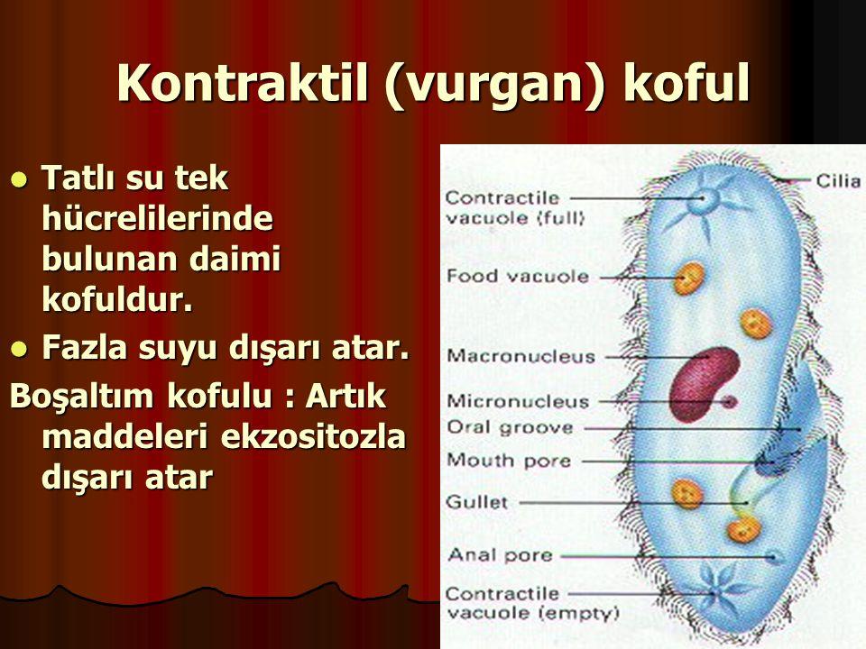 Kontraktil (vurgan) koful Tatlı su tek hücrelilerinde bulunan daimi kofuldur. Tatlı su tek hücrelilerinde bulunan daimi kofuldur. Fazla suyu dışarı at