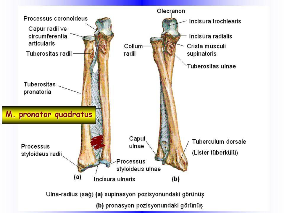 M. pronator quadratus