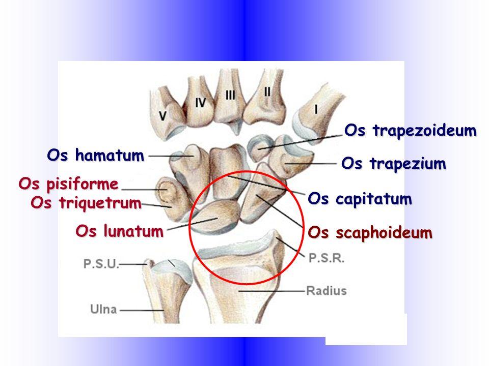 Os pisiforme Os hamatum Os trapezoideum Os trapezium Os capitatum Os scaphoideum Os triquetrum Os lunatum