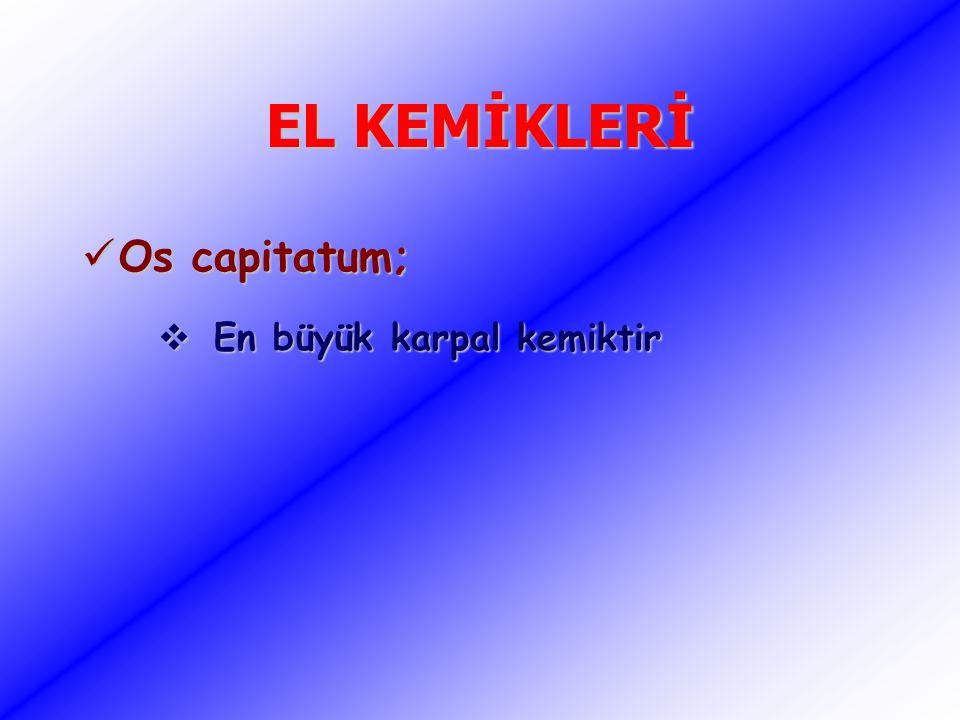 EL KEMİKLERİ Os capitatum; Os capitatum;  En büyük karpal kemiktir