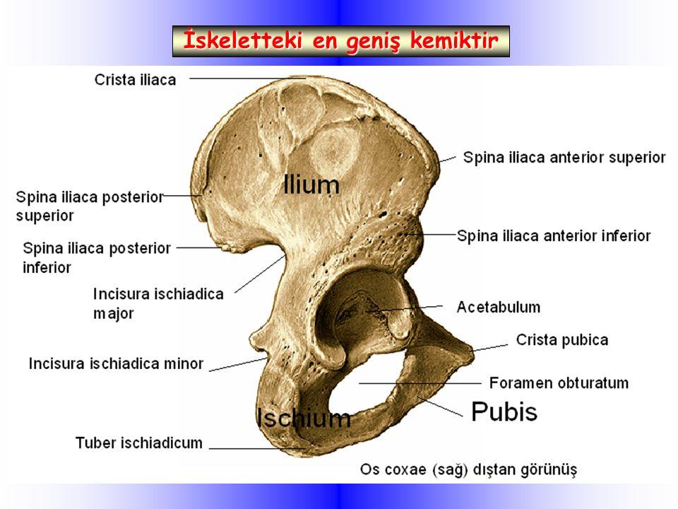 İskeletteki en geniş kemiktir