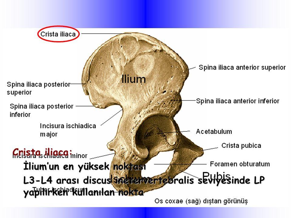 Crista iliaca: İlium'un en yüksek noktası L3-L4 arası discus inetervertebralis seviyesinde LP yapılırken kullanılan nokta