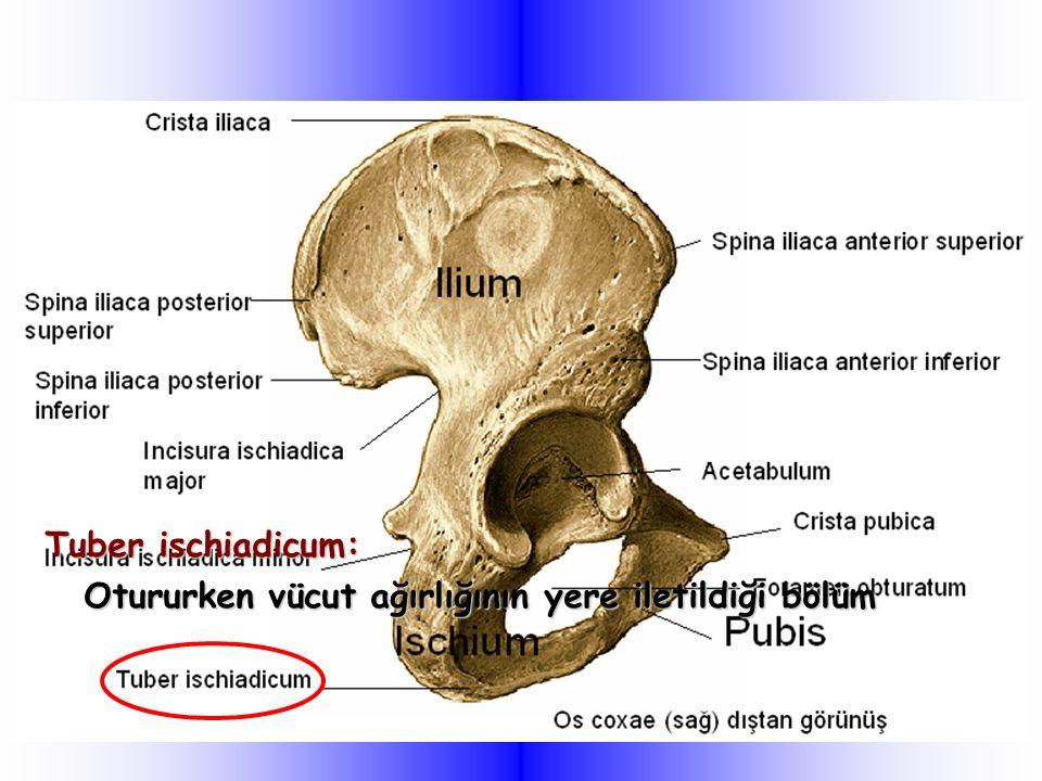 Tuber ischiadicum: Otururken vücut ağırlığının yere iletildiği bölüm