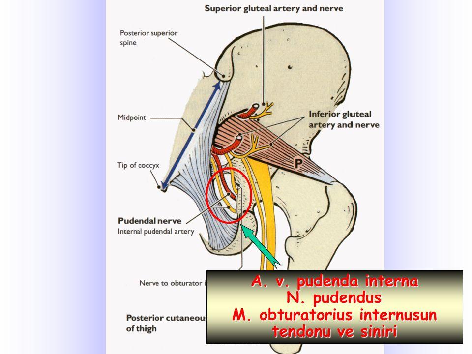 A. v. pudenda interna N. pudendus M. obturatorius internusun tendonu ve siniri